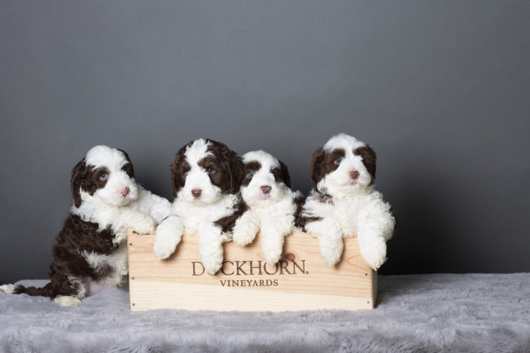 4 puppies fixed penis ic